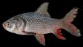 Hiệu quả từ mô hình nuôi cá hô thương phẩm