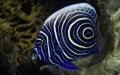 Những loài cá có màu sắc sặc sỡ, được săn lùng nhiều nhất thế giới