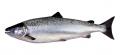 Cá hồi Nauy được nuôi bằng thức ăn làm từ tảo