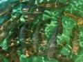 Dự án nuôi cá Hồi Vân thương phẩm ở Quan Hóa