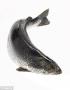 Phương pháp mới điều trị rận biển ký sinh trên cá hồi