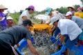 Ngành nuôi cá ``thất thủ``