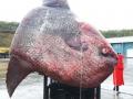 Cá nặng 1,1 tấn