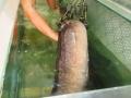 """Bắt được cá lệch """"khủng"""" dài 2 mét, nặng 18 kg trên sông Lam"""