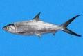 Mô hình nuôi tôm sú kết hợp với cá măng chưa mang lại hiệu quả
