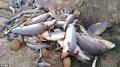 60 con cá mập nhỏ bị cắt vây, nằm phơi xác tại Đài Loan