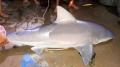 Bắt dính cá mập nước ngọt, nặng 29kg trên sông Hậu