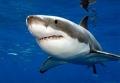 Khám phá cơ chế phát hiện con mồi của cá mập