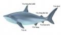 """Indonesia: liên tiếp cá mập """"lên bờ"""""""