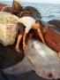 Sầm Sơn, Thanh Hóa: Phát hiện cá mặt trăng quý hiếm nặng 300kg