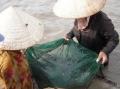 Quảng Trị: Trúng cá dìa giống, kiếm tiền triệu mỗi ngày