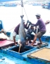 Cá ngừ đại dương rớt giá