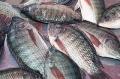 Đã tìm thấy loại virut đe dọa ngành nuôi cá rô phi tại Ai Cập