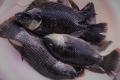 Mỹ phát triển giống cá rô phi kháng bệnh