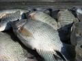 Quy chuẩn kỹ thuật quốc gia về cá rô phi
