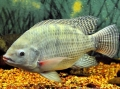 Việc cần làm trước khi đào ao nuôi cá Rô Phi?