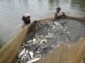 Nghệ An: Thành công từ mô hình nuôi cá rô phi lai xa dòng Israel