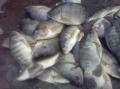 Yên Dũng: Hỗ trợ thâm canh thủy sản