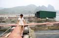 Thu nhập tiền tỉ từ nuôi cá sạch theo VietGap trên sông Đà