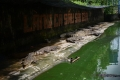 Hàng vạn con cá sấu đói lả