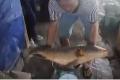 Ngư dân lo lắng vì bắt được cá quý tiền tỷ
