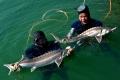 Giúp người nội trợ chọn cá tầm Việt Nam