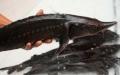 Phát hiện tác nhân gây dịch bệnh trên cá hồi, cá tầm