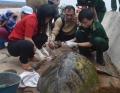 Cá thể rùa biển quý hiếm bị thương trôi dạt vào bờ