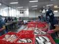 Nông dân nuôi cá tra gặp khó vì nguồn cung cá tra giống khan hiếm