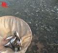 Cần thiết tái cấu trúc ngành cá tra - Kỳ II: Rủi ro luôn rình rập