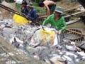 """Lực mua tăng khiến cá tra và tôm cùng """"rủ nhau"""" tăng giá"""