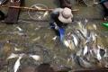 Phát hiện cá tra nhiễm hóa chất cấm Trifluralin ở Vĩnh Long