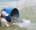 Cá tra giống- cung không đủ cầu
