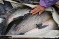 Bốn đại gia tranh nhau con cá trắm đen 10 kg ăn Tết