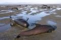 39 con cá voi chết vì mắc cạn
