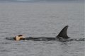 Cá voi cũng biết thương xót đồng loại đã chết