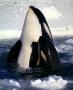 Cá voi sát thủ cũng bị mãn kinh