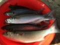 Bà Rịa - Vũng Tàu: Hiệu quả mô hình nuôi cá đối mục thương phẩm