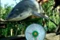 Người dân bắt được cá mập trên sông Cổ Chiên