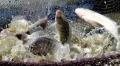 Bị nhiễm độc khi ăn cá rô phi: Thiếu khoa học và phi thực tế