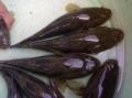 Nghĩ đến việc nuôi cá bống dừa trong ao đất