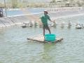 Nuôi trồng thủy sản: Gay go với người nuôi tôm