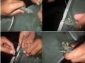 Phương pháp cắt mắt tôm trong sản xuất giống