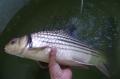 Loài cá bí hiểm sông Mekong