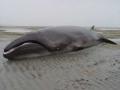 Phát hiện loài cá voi tưởng chừng đã tuyệt chủng