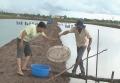 Nông dân Vĩnh Châu chăm sóc tốt cho vụ tôm nuôi 2015