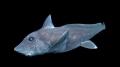 Phát hiện cá mập ma cực hiếm ở Thái Bình Dương