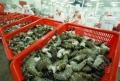 Điên đầu vì lo mất thị trường xuất khẩu thủy sản