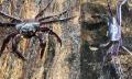 Loài cua kỳ lạ cư ngụ hoàn toàn trên cây ở Ấn Độ
