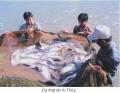 Hậu Giang: Cá thát lát cườm giống không có đầu ra